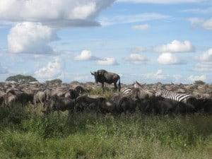Western white-bearded wildebeest in the Serengeti alongside plains zebra @ Serengeti National Park. Photo: Håvard Rosenlund