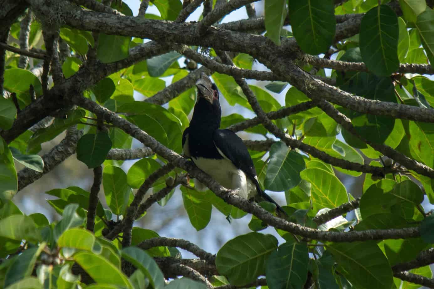 Trumpeter Hornbill2