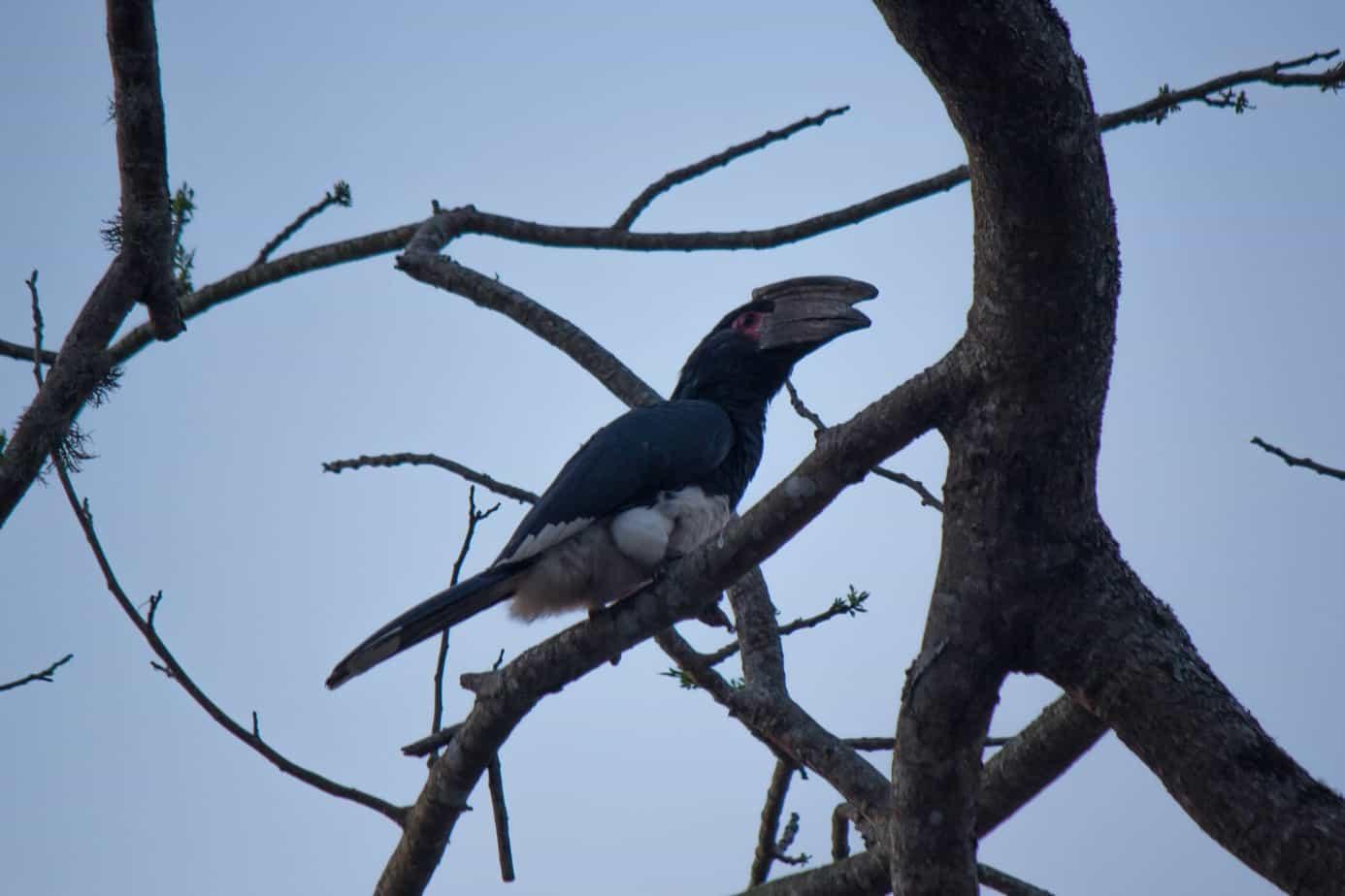 Trumpeter Hornbill1