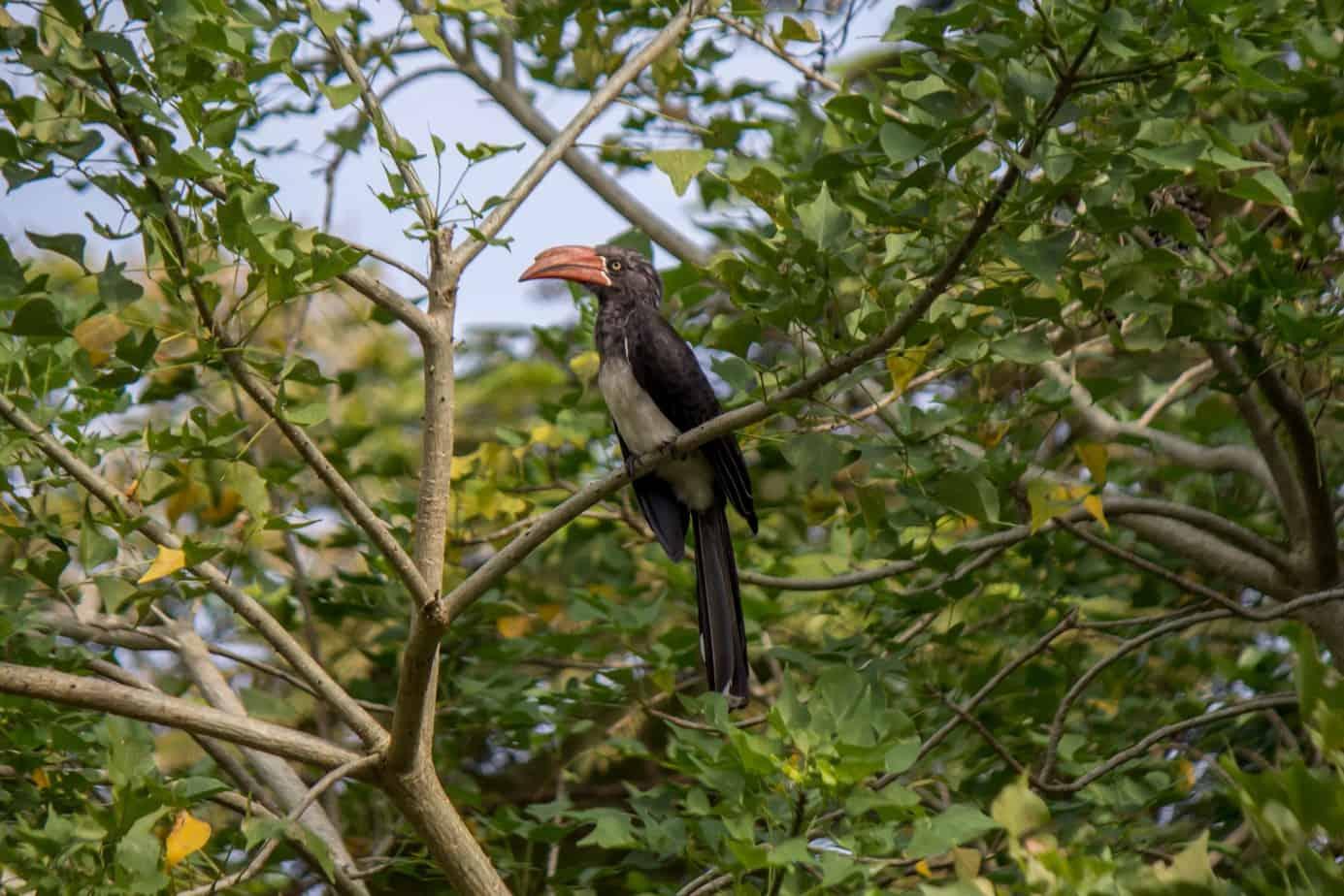Crowned Hornbill2