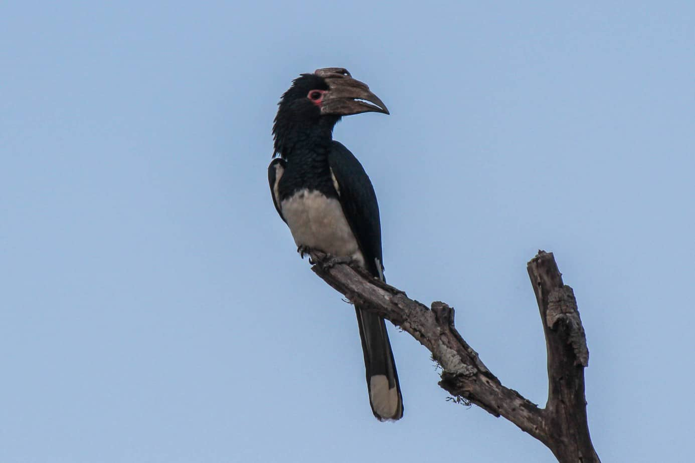 Trompeterhornfugl @ Thanda Private Game Reserve. Foto: Håvard Rosenlund