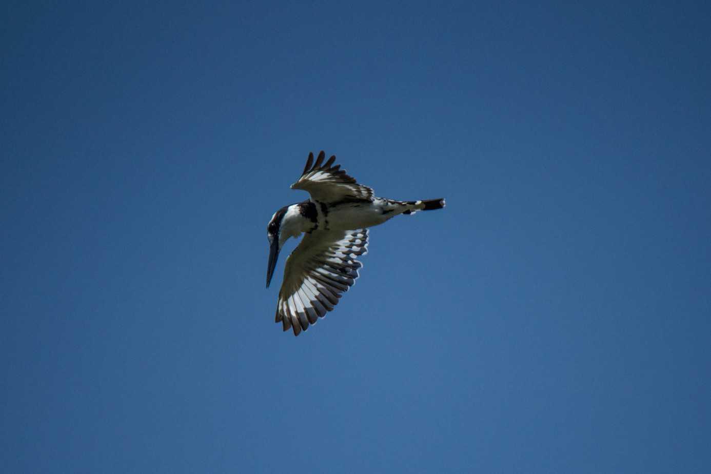 Pied Kingfisher1