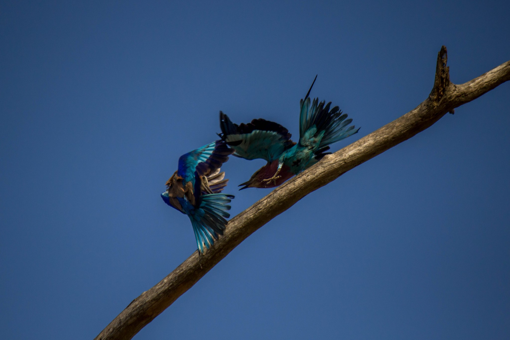 Lilac-Breasted Roller5