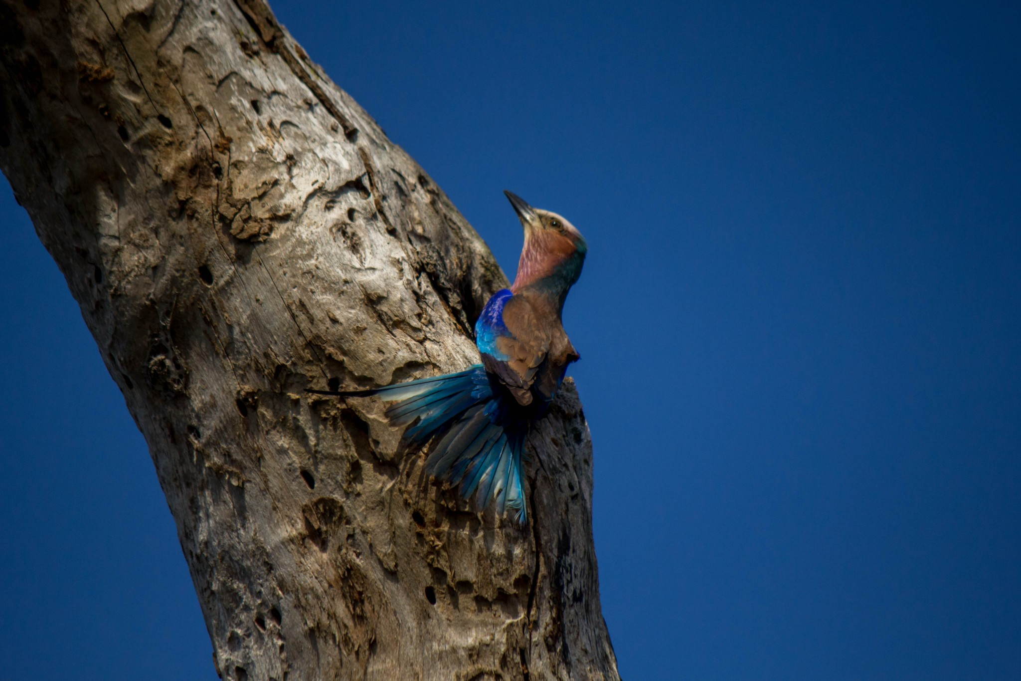 Lilac-Breasted Roller2