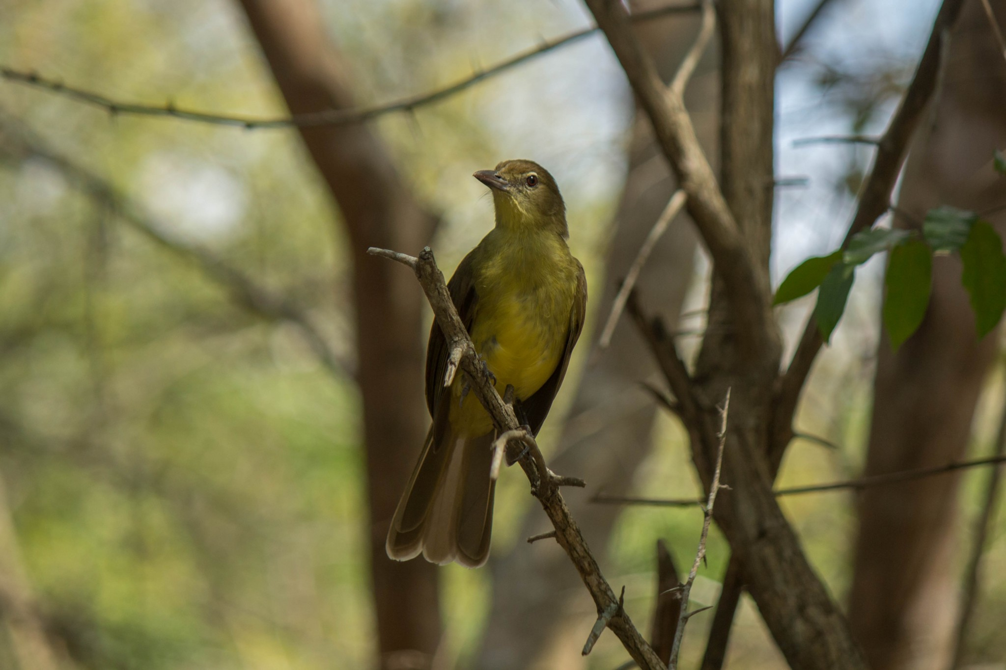 Yellow-Bellied Greenbul4