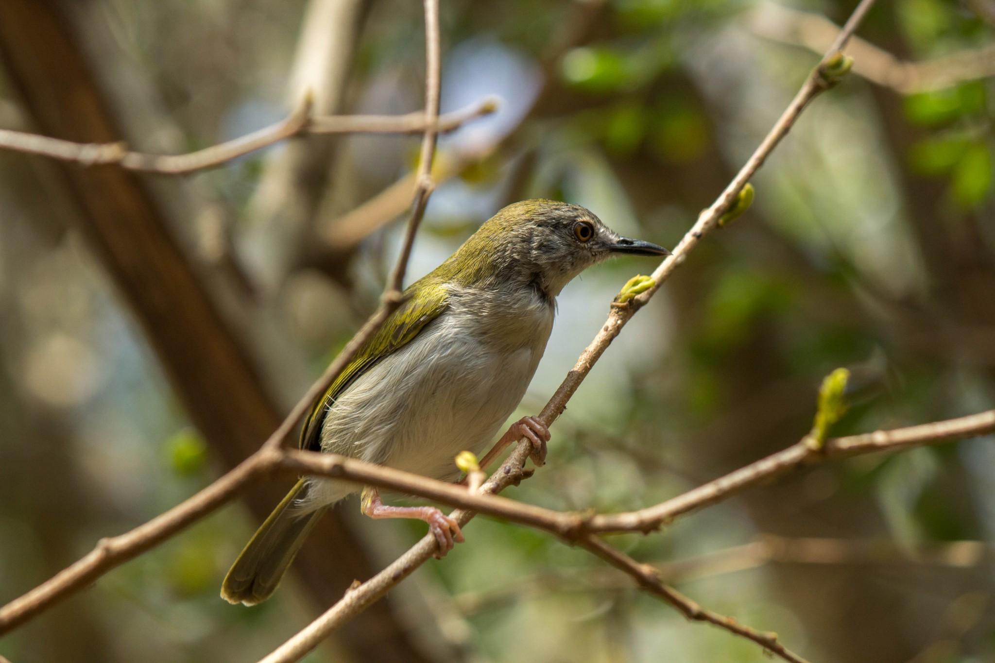 Green-Backed Camaroptera1