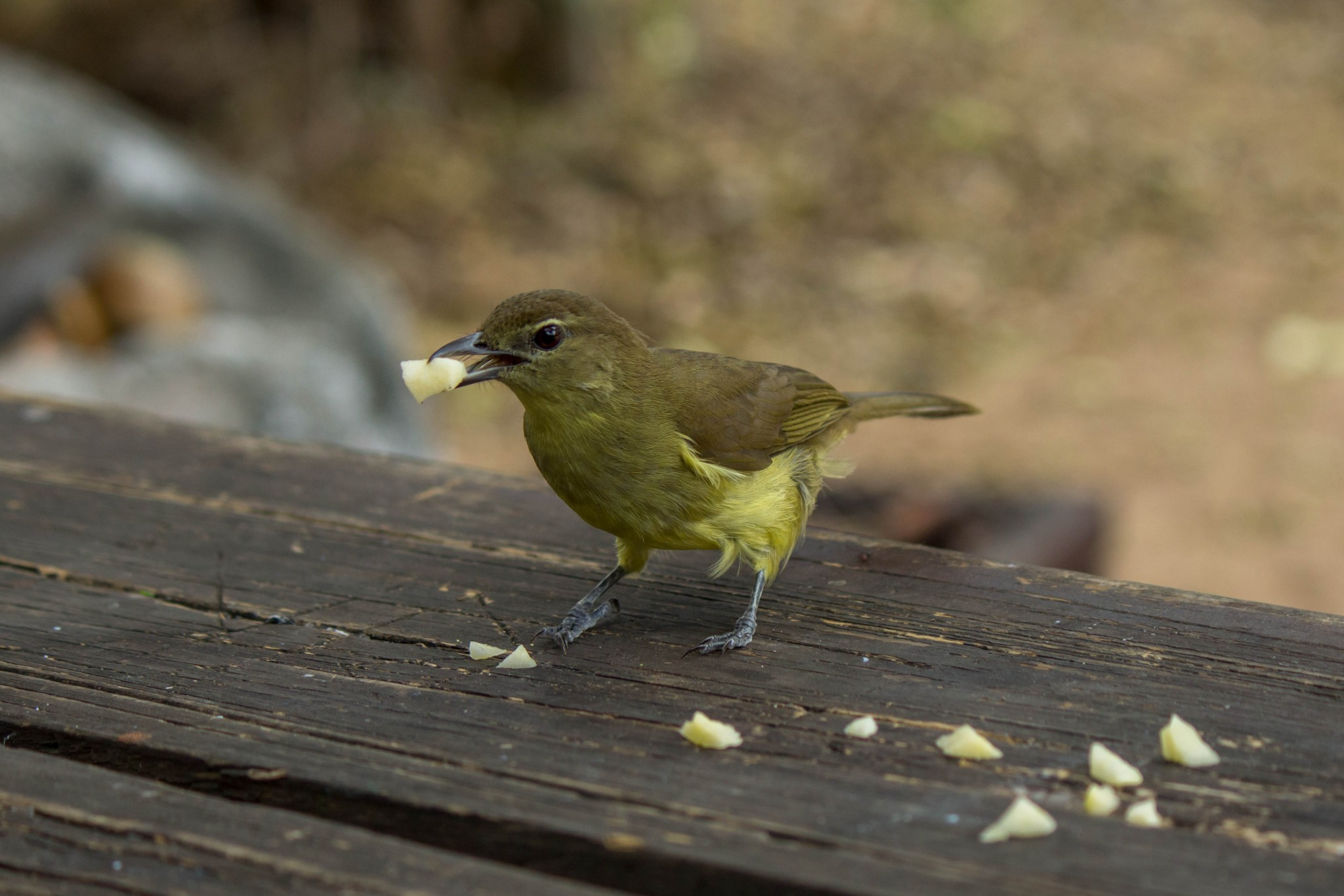 Yellow-Bellied Greenbul2