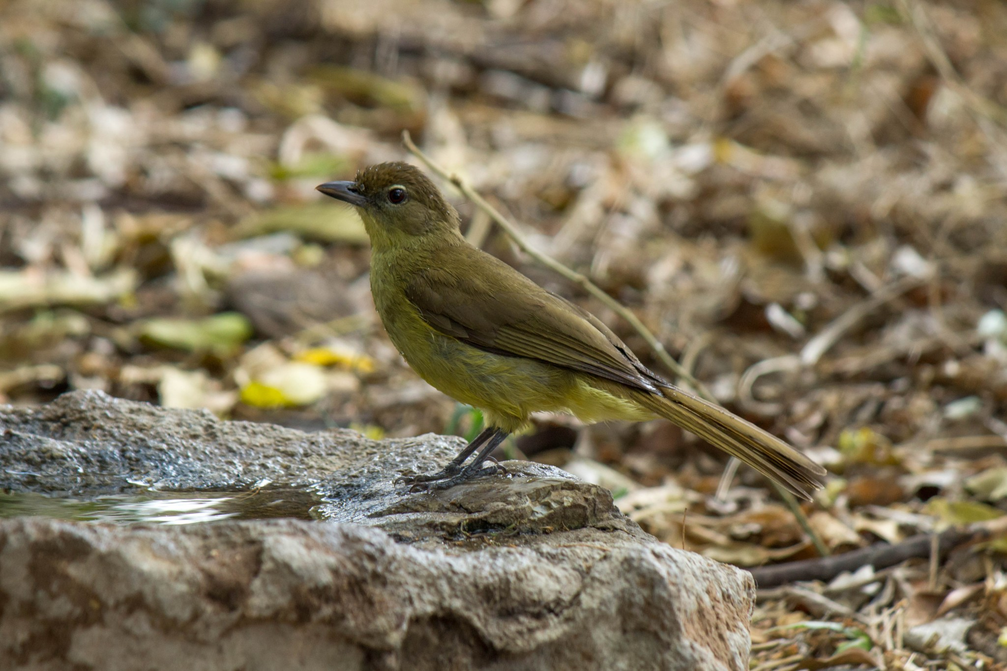 Yellow-Bellied Greenbul @ Tembe Elephant Park. Photo: Håvard Rosenlund