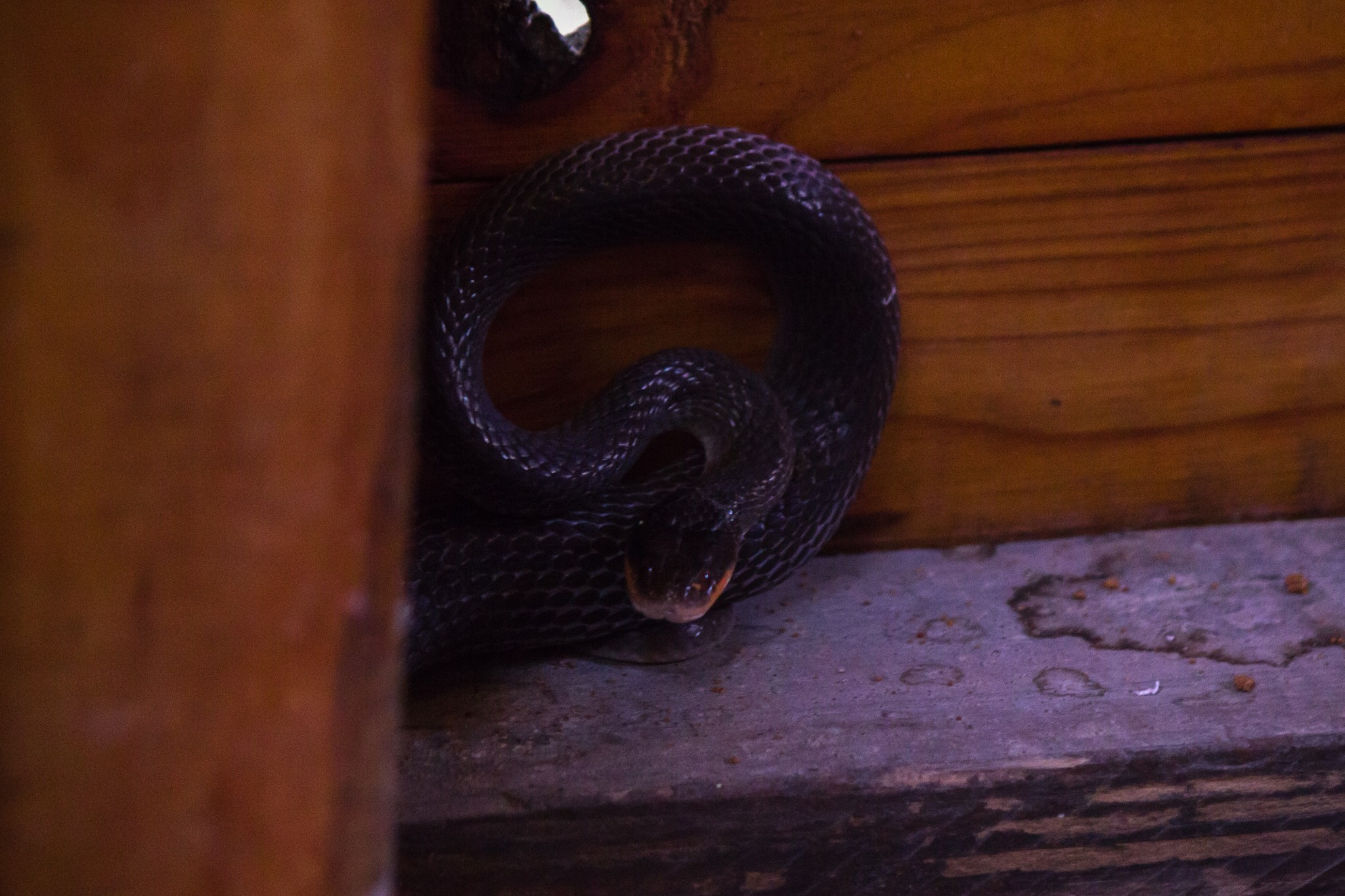 Red-Lipped Snake3