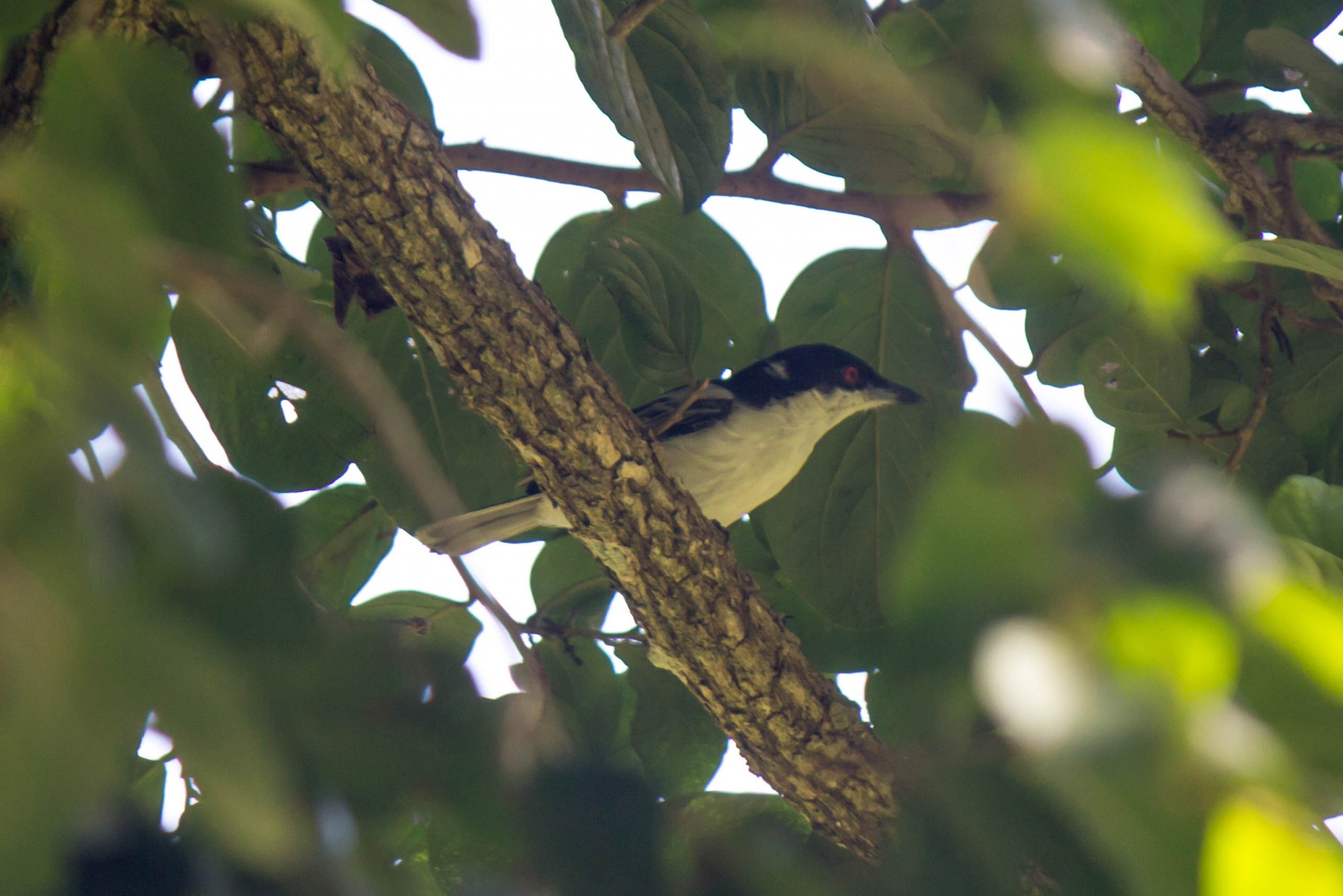 Black-Backed Puffback1