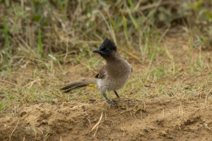 Common Bulbul @ Hluhluwe-iMfolozi Park. Photo: Håvard Rosenlund