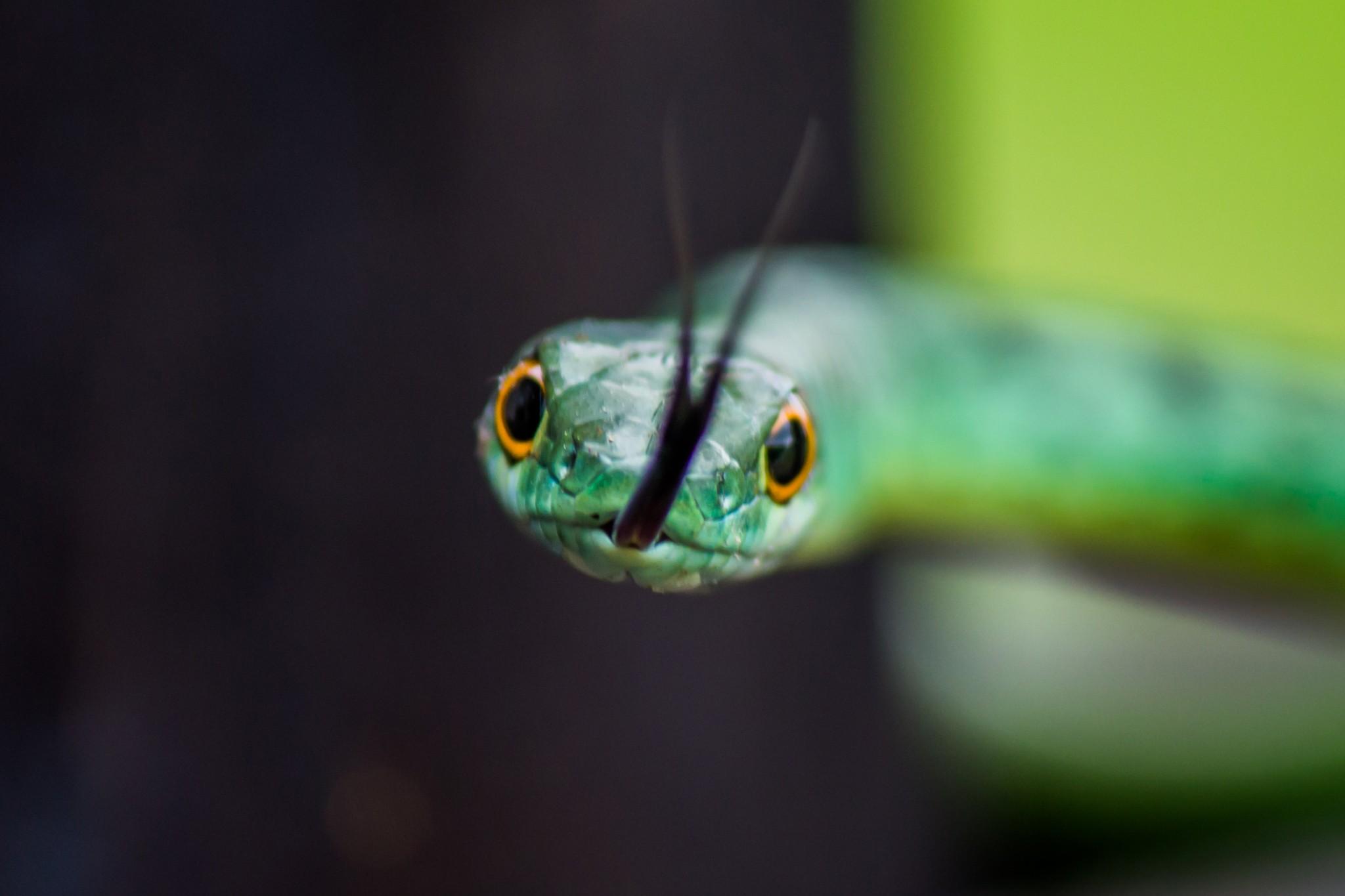 Spotted Bush Snake2