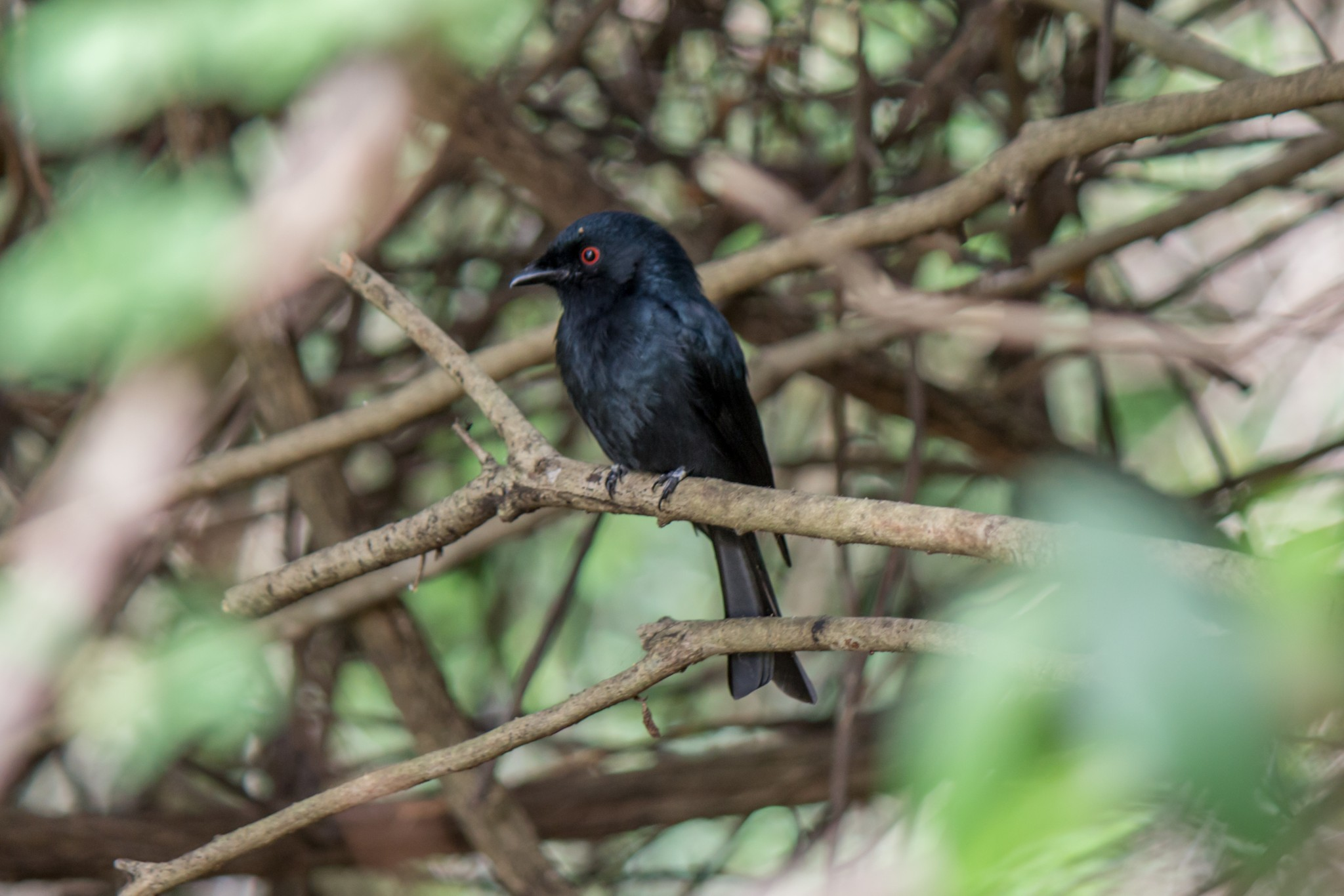 Square-Tailed Drongo3