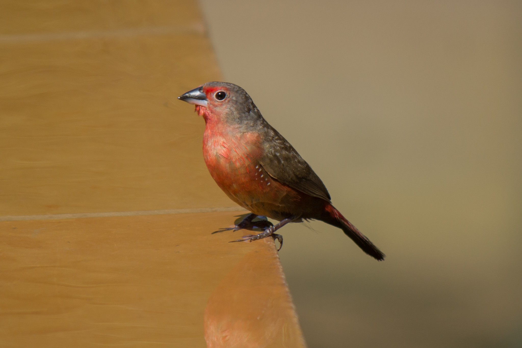 African Firefinch @ Thanda Private Game Reserve. Photo: Håvard Rosenlund