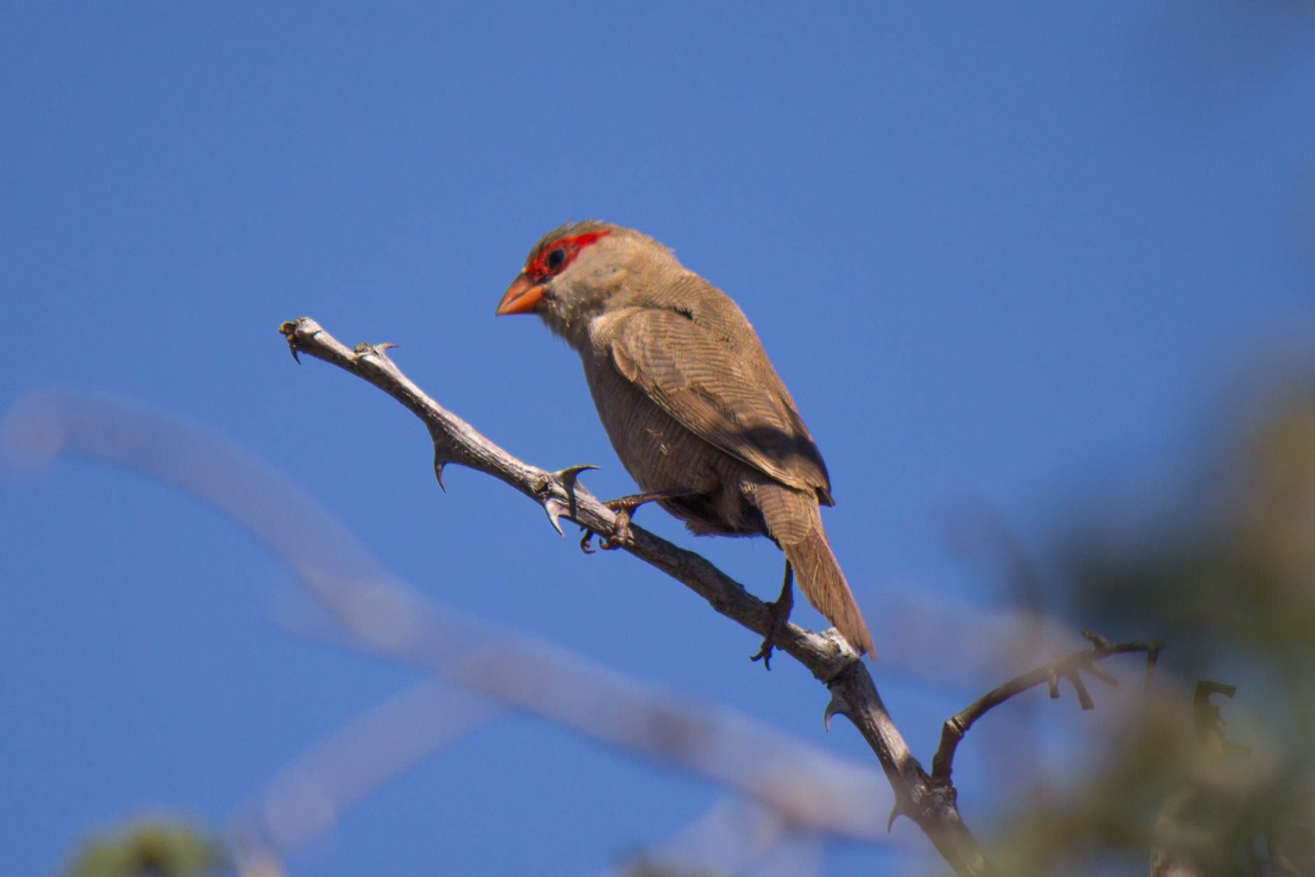 Common Waxbill @ Thanda Private Game Reserve. Photo: Håvard Rosenlund