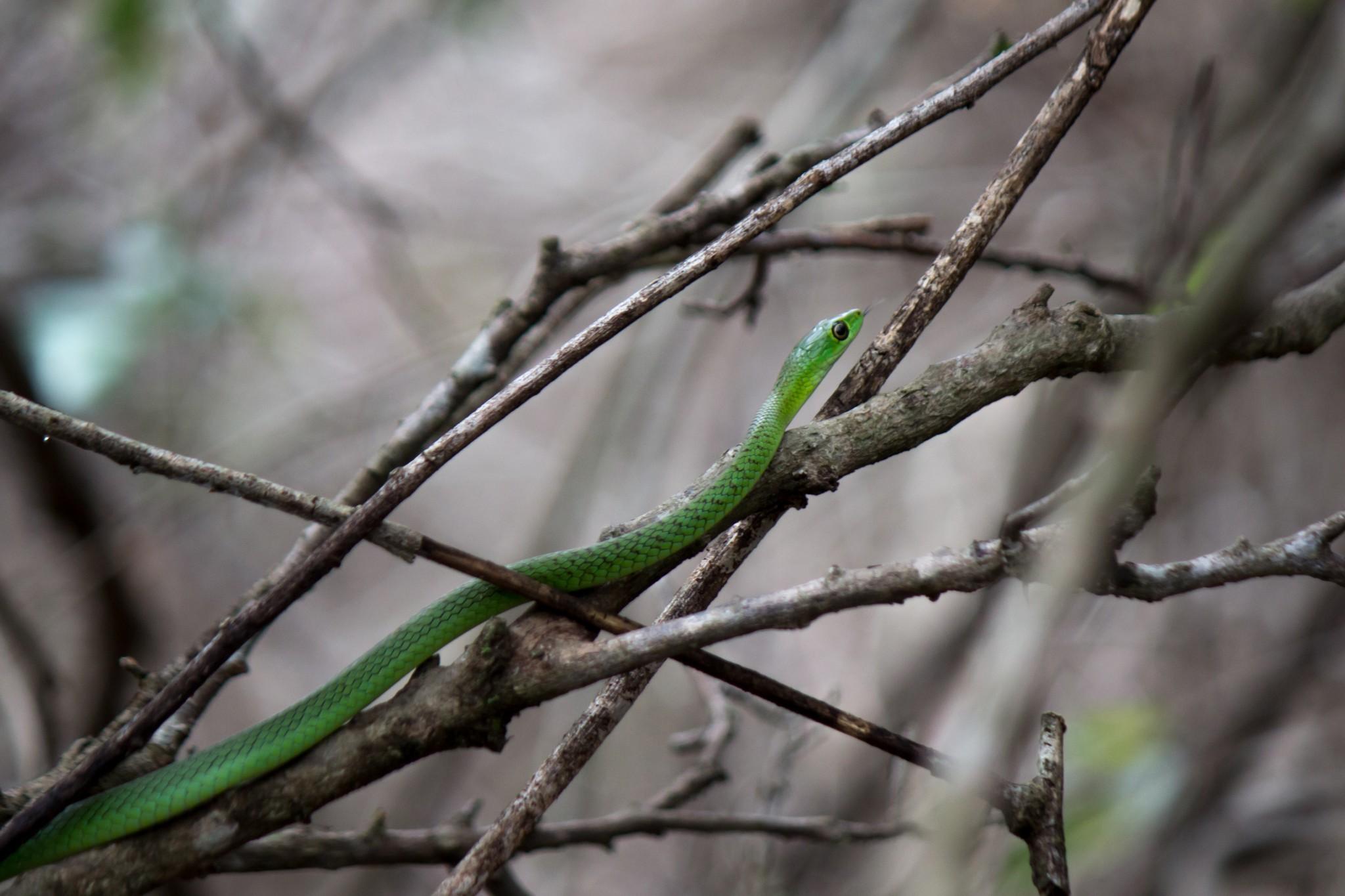 Natal Green Snake @ Tembe Elephant Park. Photo: Håvard Rosenlund