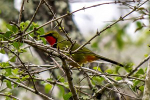 Four-Colored Bushshrike @ Tembe Elephant Park. Photo: Håvard Rosenlund