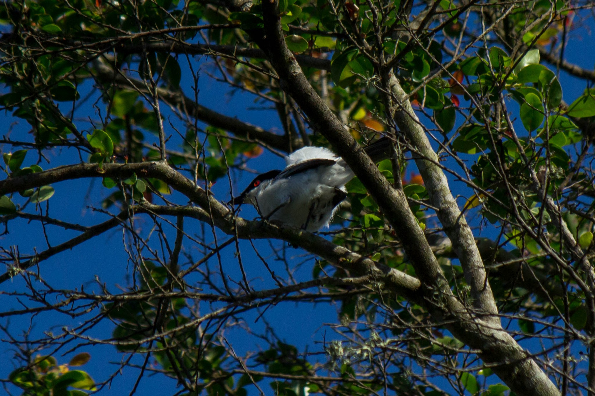 Black-Backed Puffback2