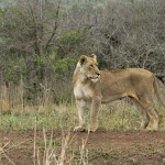 Lioness @ Munyawana Game Reserve. Photo: Håvard Rosenlund