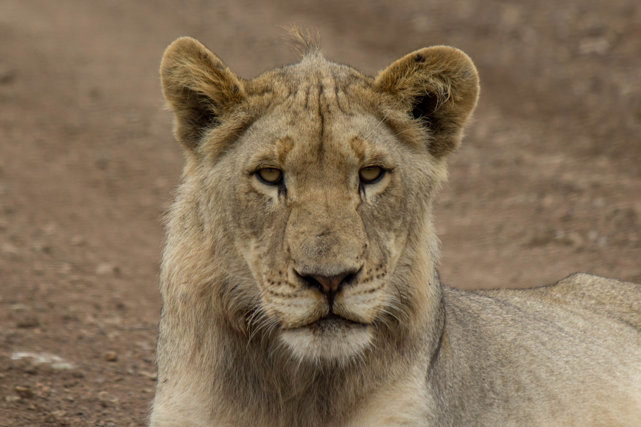 Young Male Lion @ Munyawana Game Reserve. Photo: Håvard Rosenlund
