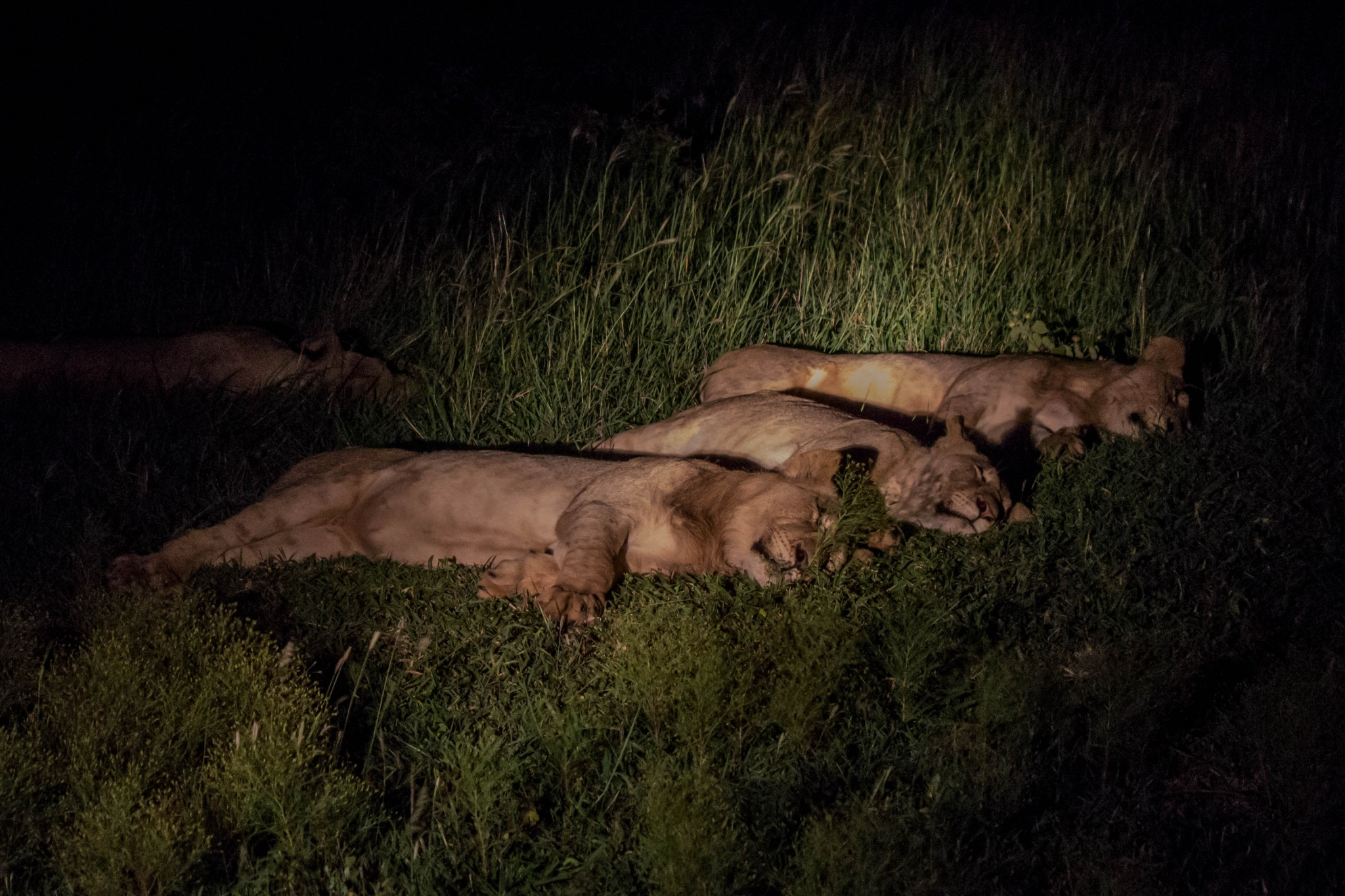 Lions Sleeping at Night @ Thanda Private Game Reserve. Photo: Håvard Rosenlund