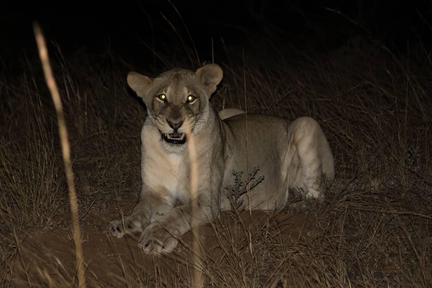 Løve om natta @ Tembe Elephant Park. Foto: Håvard Rosenlund