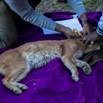 Caracal Capture @ Nottingham Road, South Africa. Photo: Håvard Rosenlund