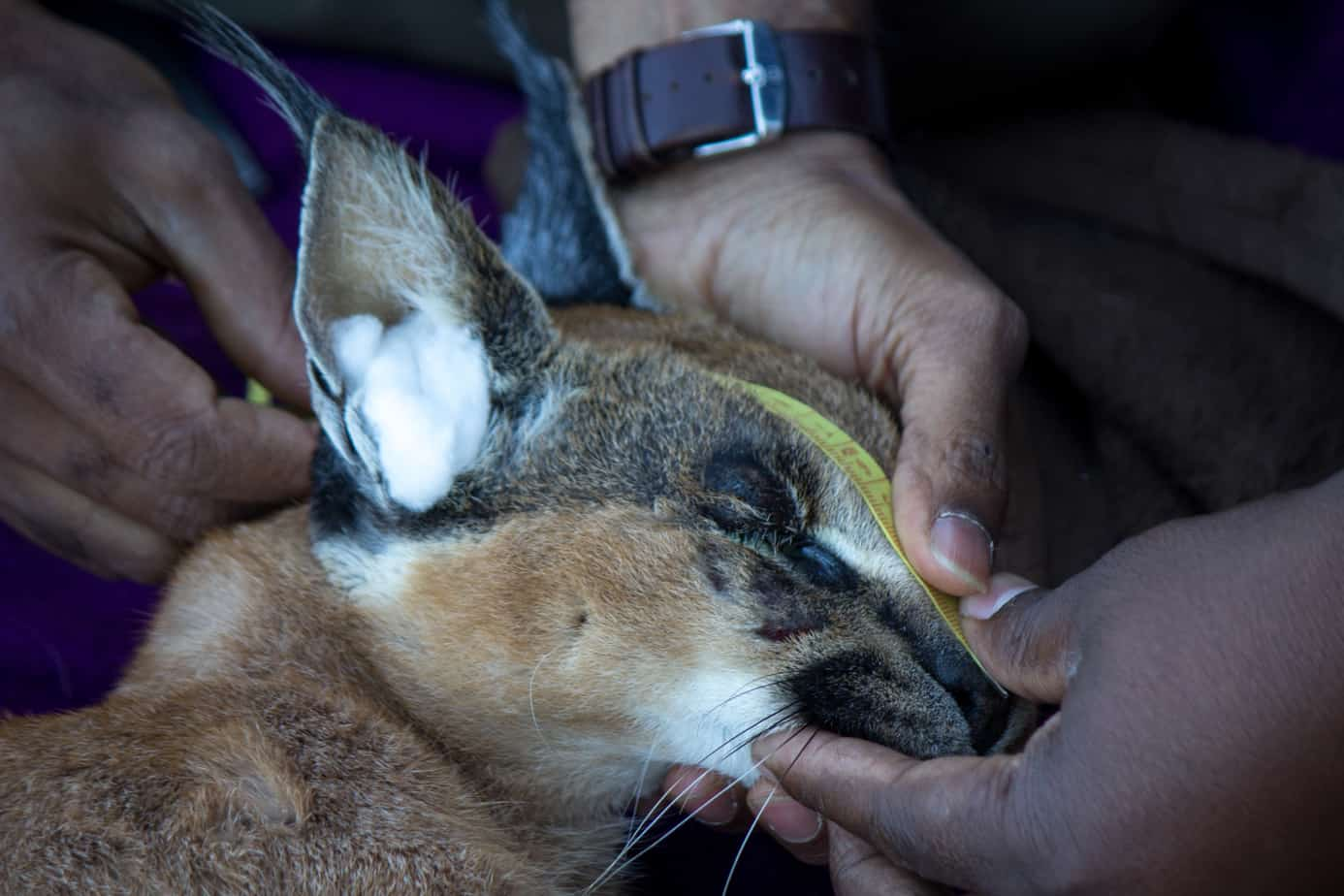 IMG 9819 - Servals & Caracals, Oh My!