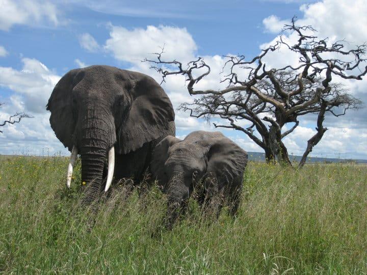 African Bush Elephant @ Serengeti National Park, Tanzania. Photo: Håvard Rosenlund
