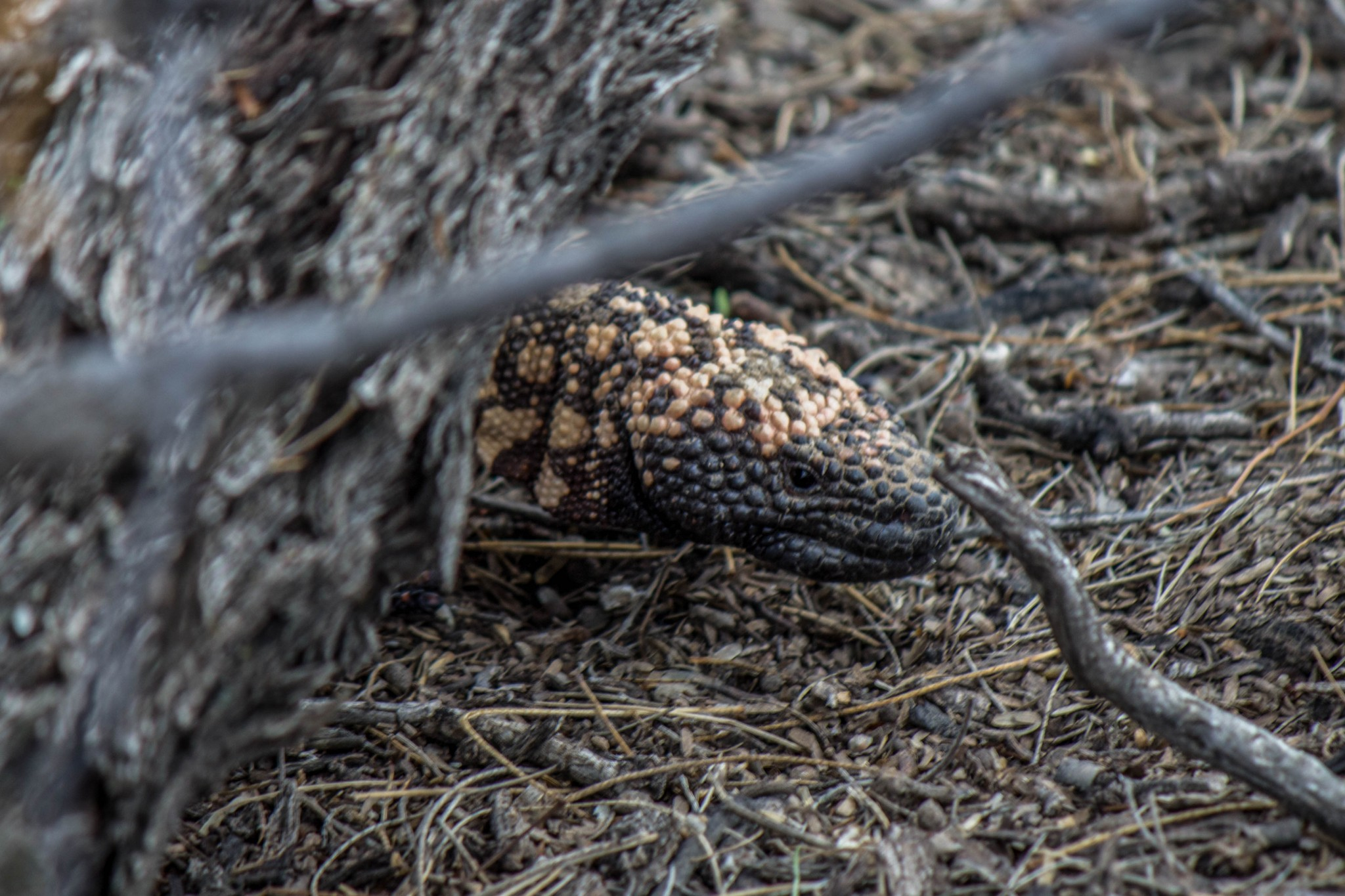 Gila Monster2