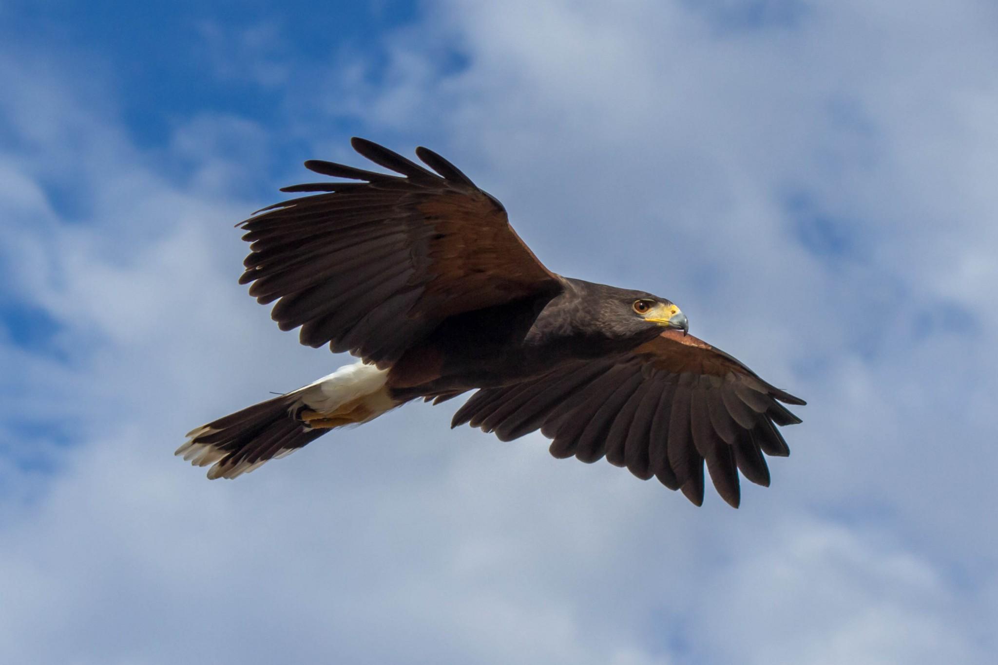 Harris's Hawk @ Sonoran Desert, Arizona