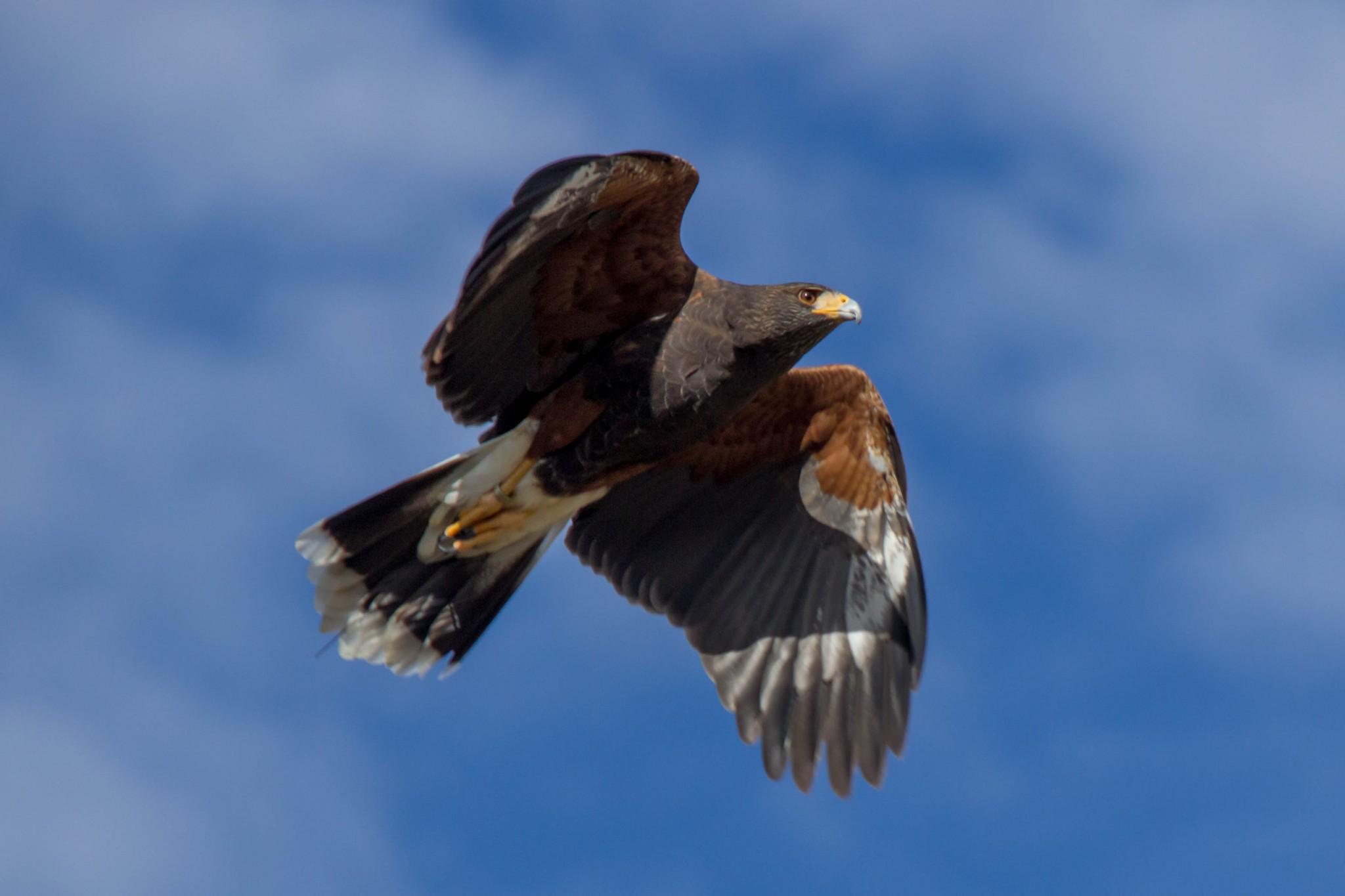 Harris's Hawk5