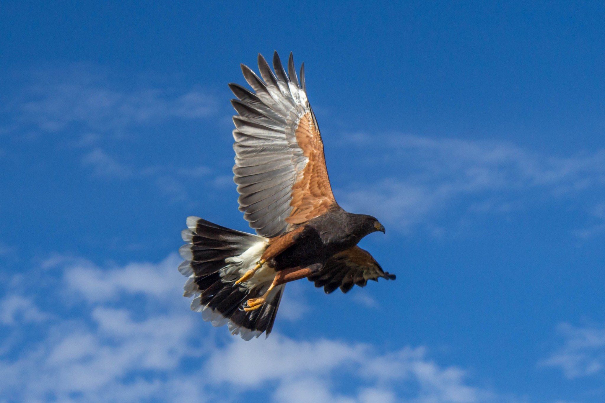 Harriss Hawk Wildlife Vagabond