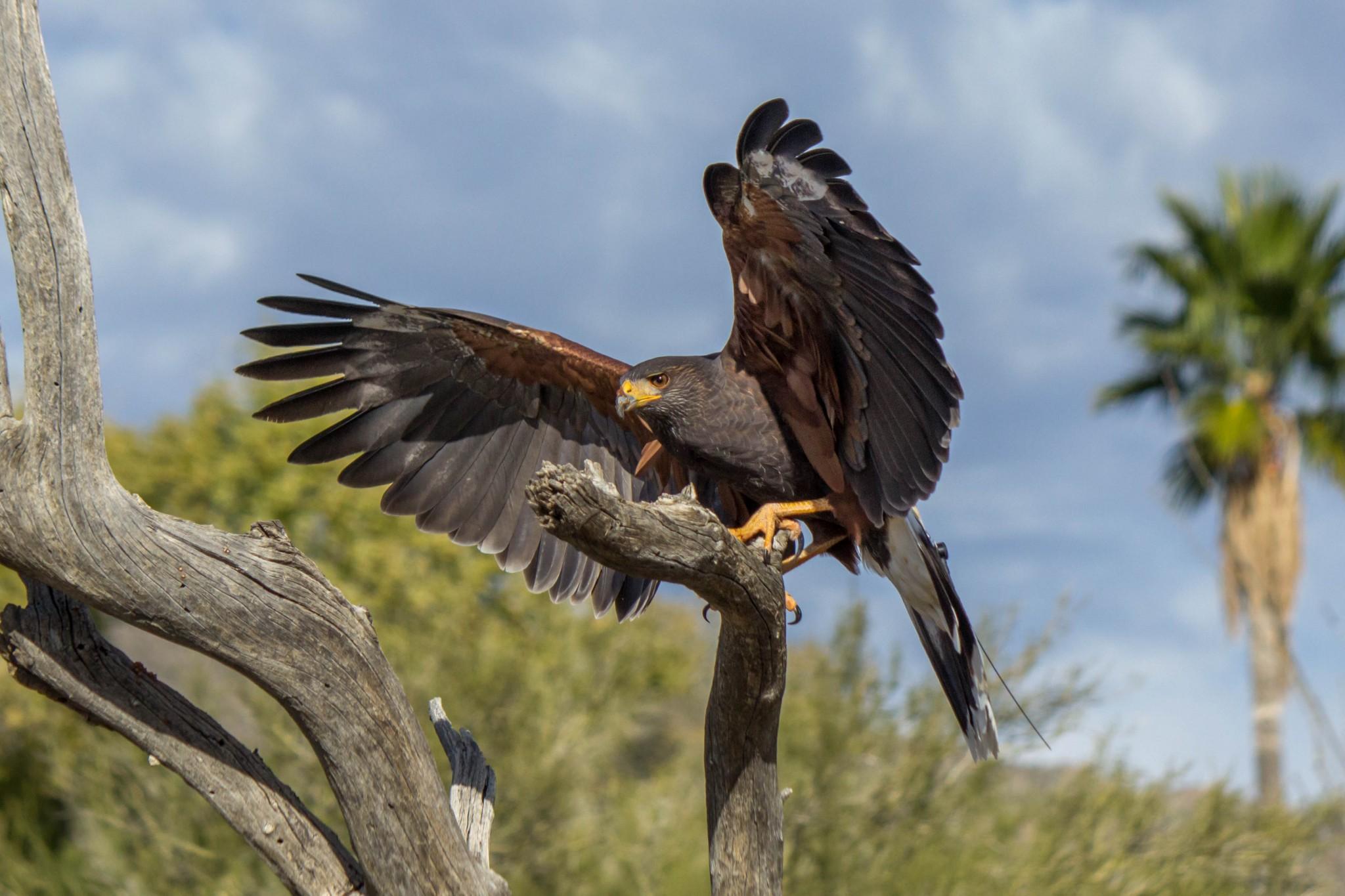 Harris S Hawk Wildlife Vagabond