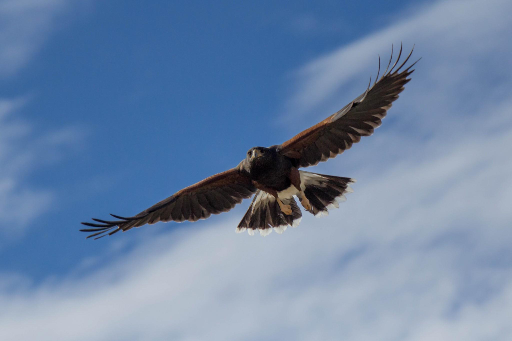 Harris's Hawk10