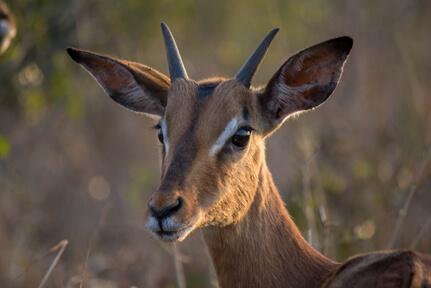 Impala – Wildlife10