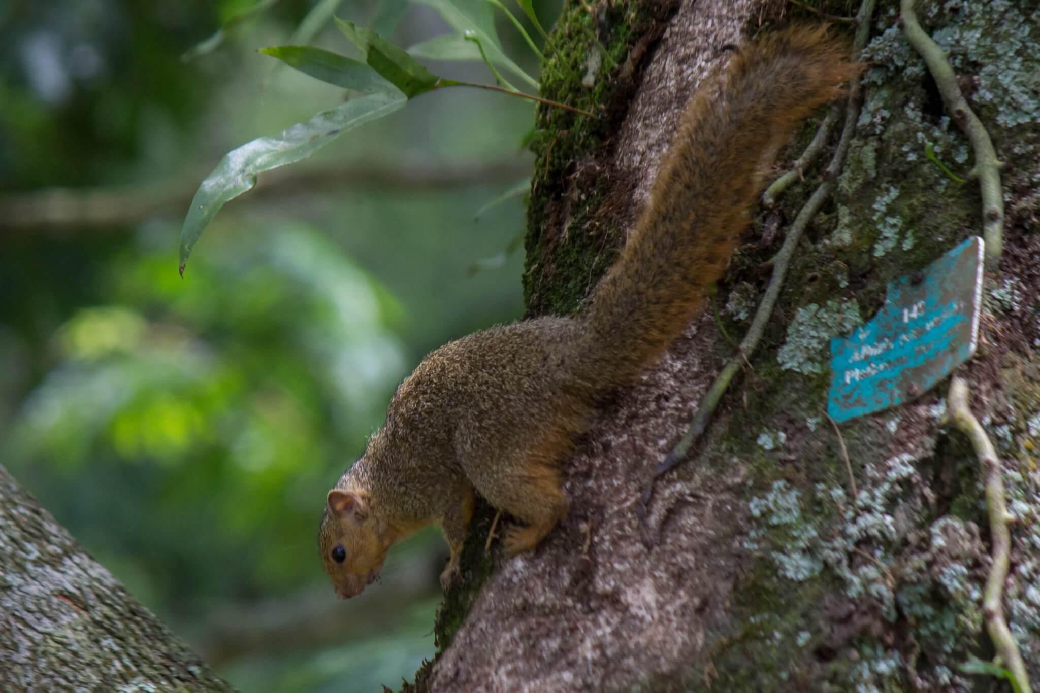 Red Bush Squirrel1
