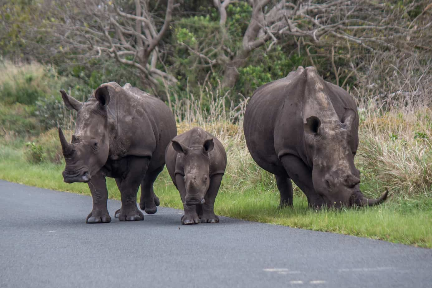 White Rhino Family iSimangaliso 1 - An Old Friend Just Got Murdered