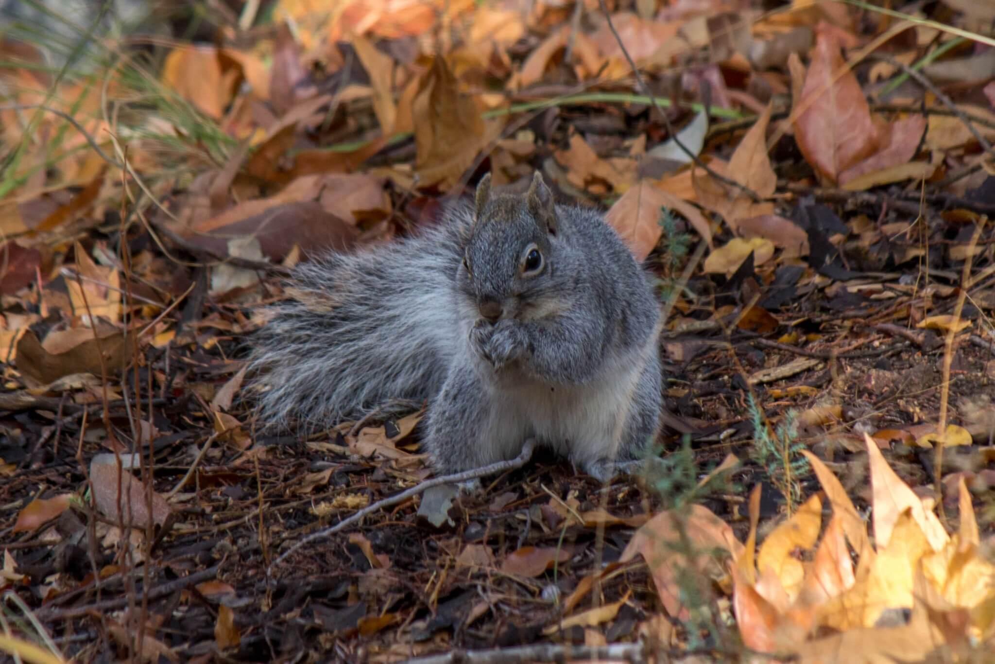 Arizona Gray Squirrel2