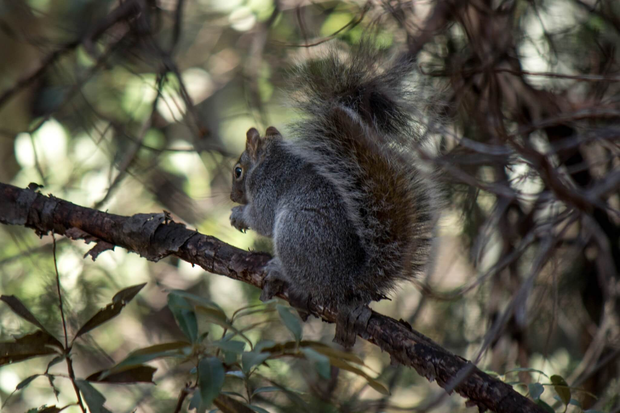 Arizona Gray Squirrel4