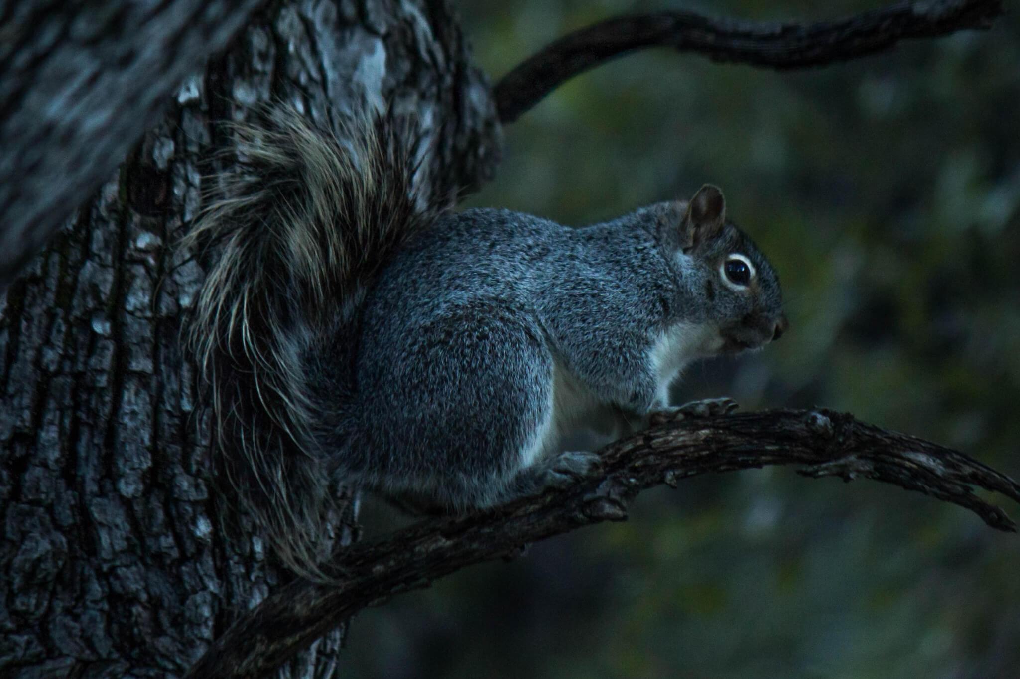 Arizona Gray Squirrel1