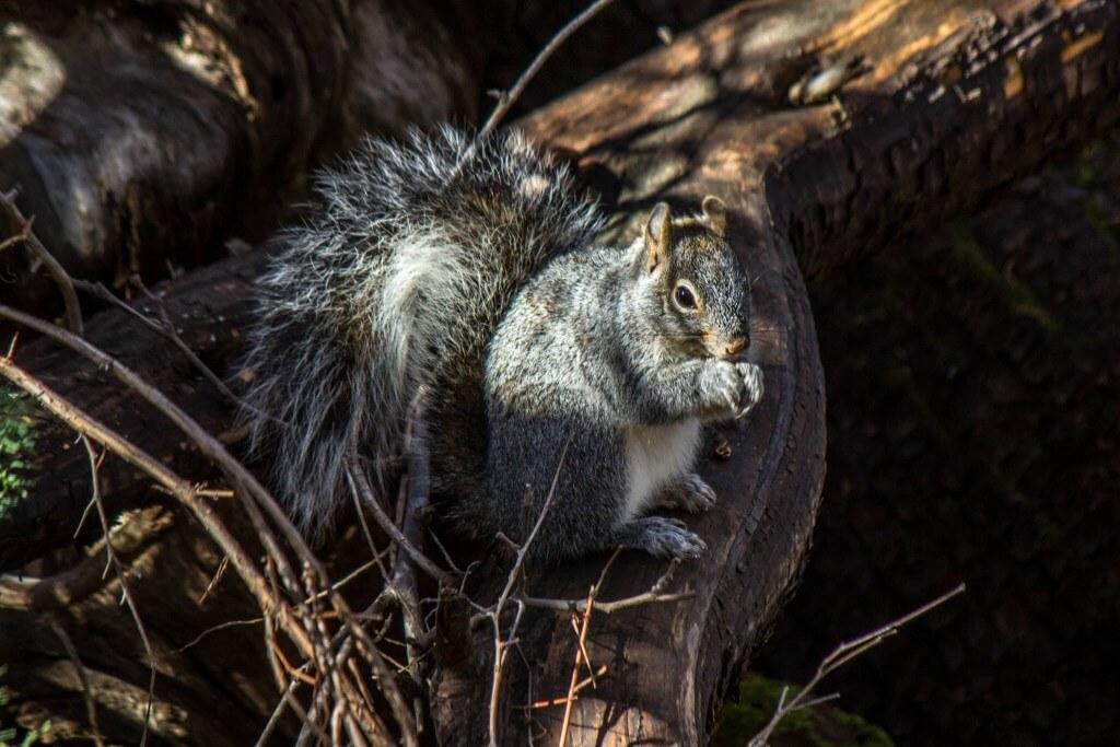 Arizona Gray Squirrel @ Madera Canyon, Arizona. Photo: Håvard Rosenlund