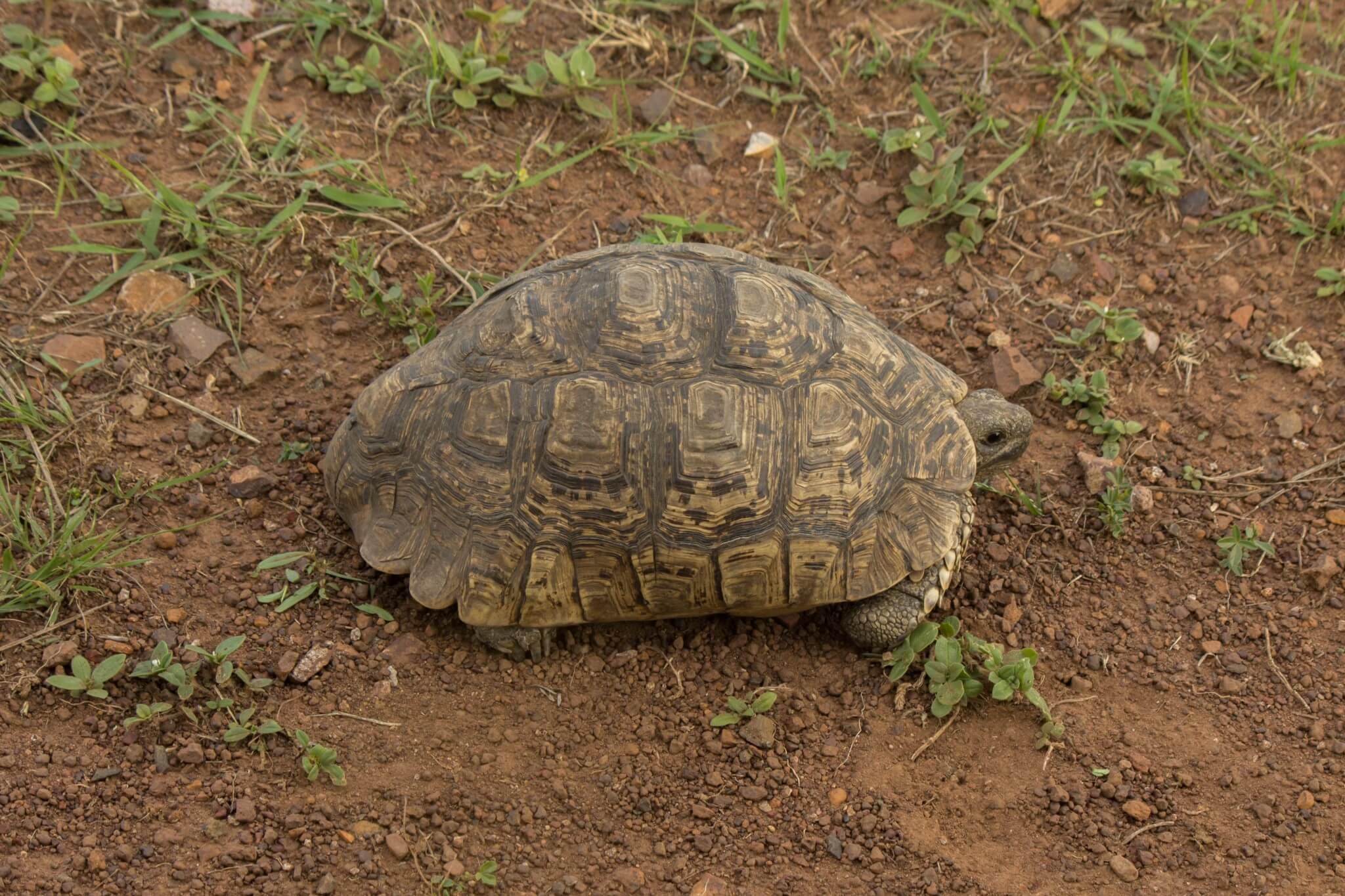 Leopard Tortoise4