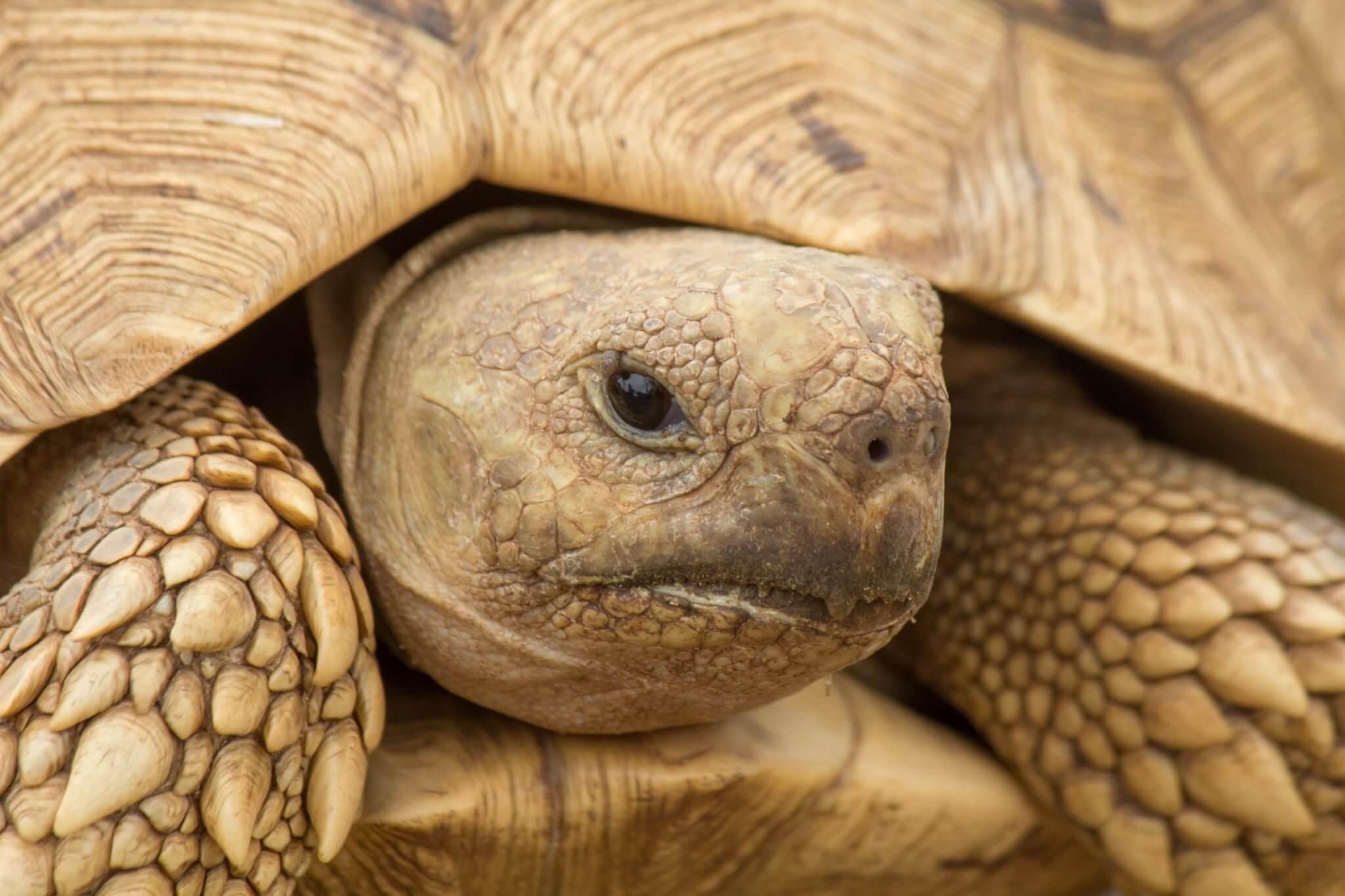 Leopard Tortoise2