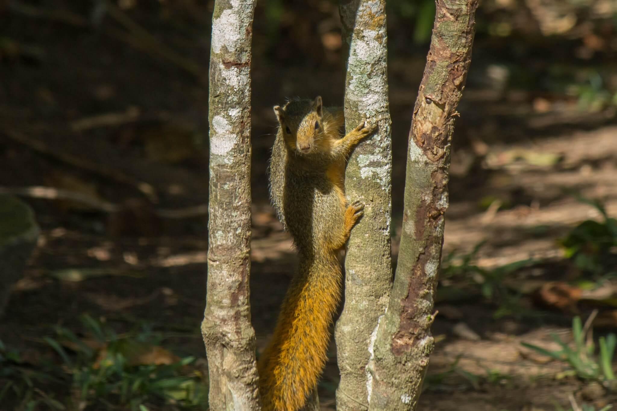 Red Bush Squirrel4
