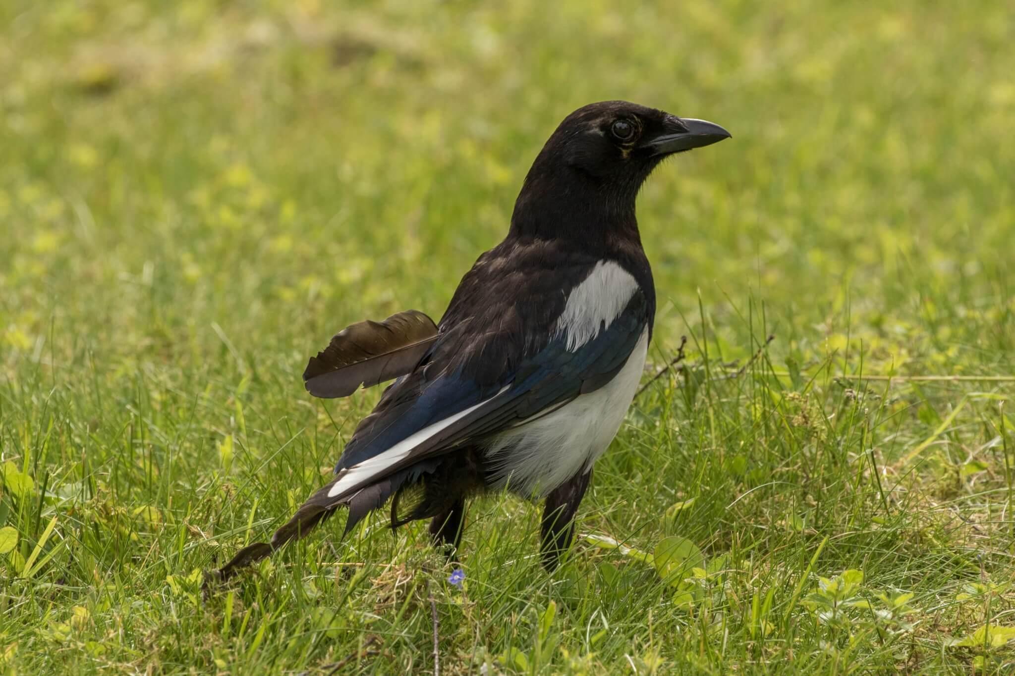 Eurasian Magpie @ Lillestrøm, Norway. Photo: Håvard Rosenlund