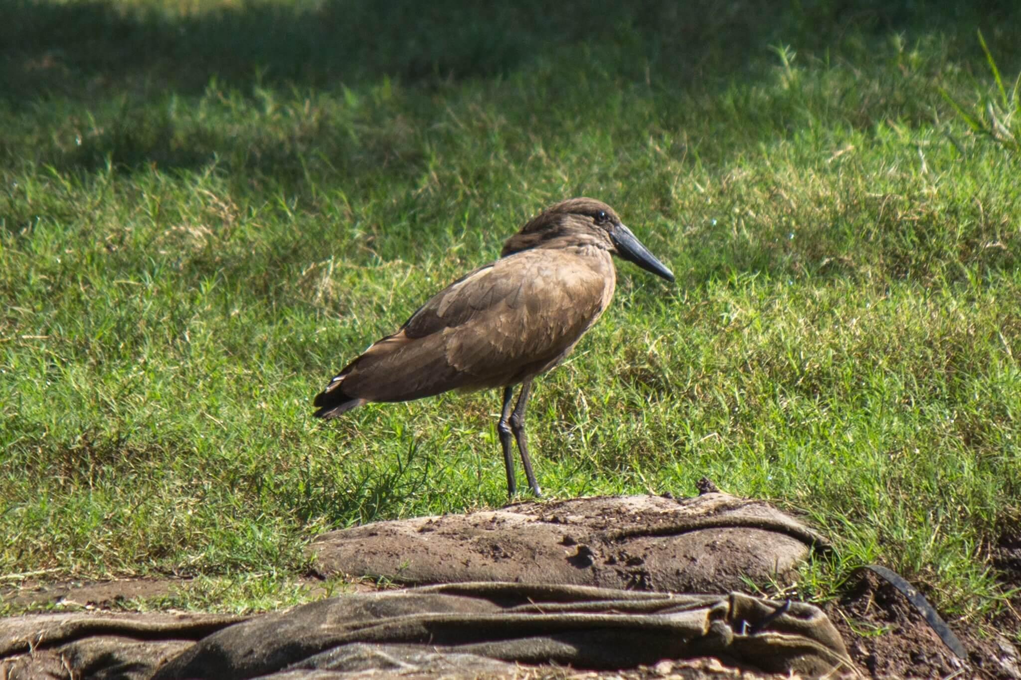 Skyggefugl @ Ndumo Game Reserve, Sør-Afrika. Foto: Håvard Rosenlund