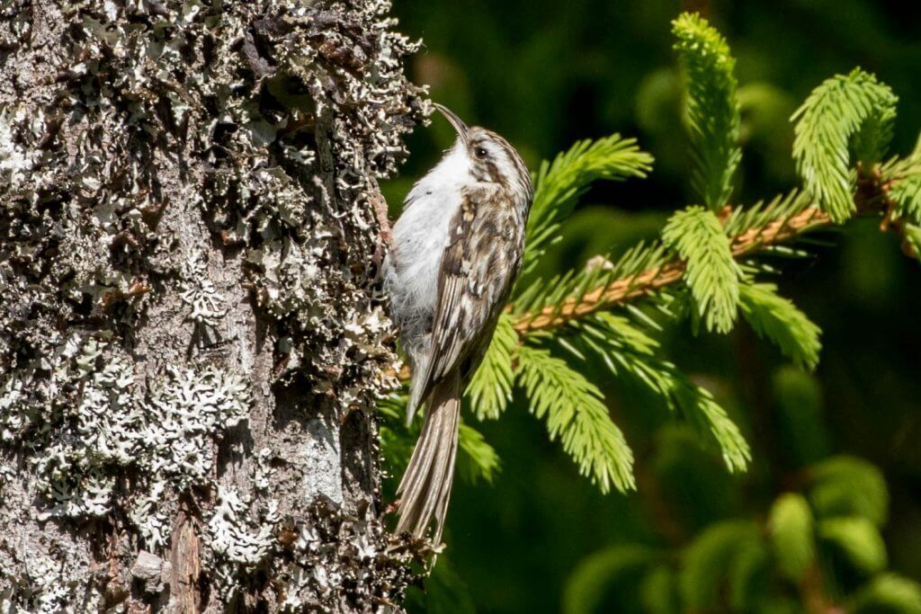 Eurasian Treecreeper @ Nittedal, Norway. Photo: Håvard Rosenlund