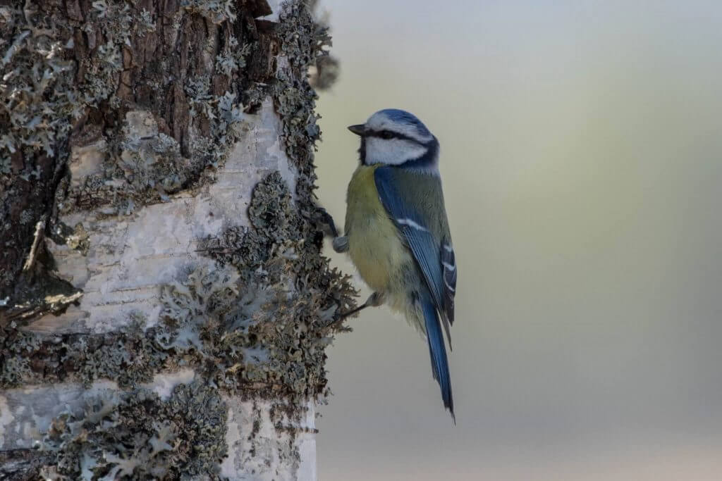 Eurasian Blue Tit @ Øyeren Nature Reserve, Norway. Photo: Håvard Rosenlund