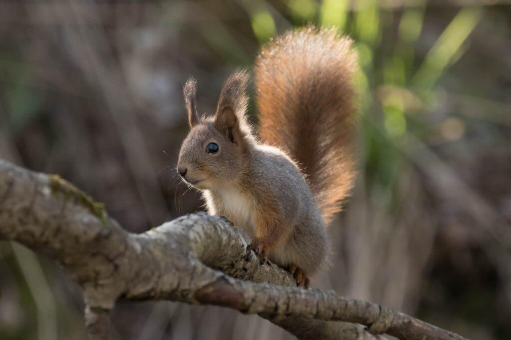 Red Squirrel @ Nittedal, Norway. Photo: Håvard Rosenlund